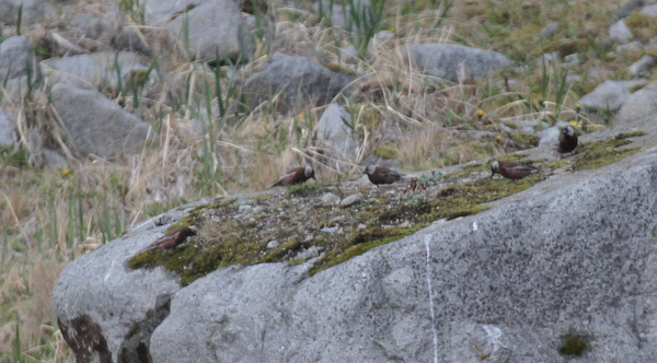 Gray-crowned Rosy Finches at Sandy Cove Bluffs Feeder, May 27, 2013