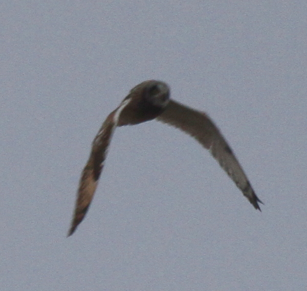 Short-eared Owl, Adak Airport, May 26, 2013