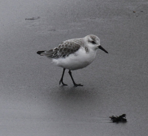 Sanderling, Landing Lights Beach, May 28, 2013