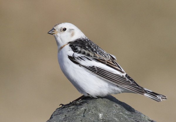 Snow Bunting, White Alice, May 22, 2013
