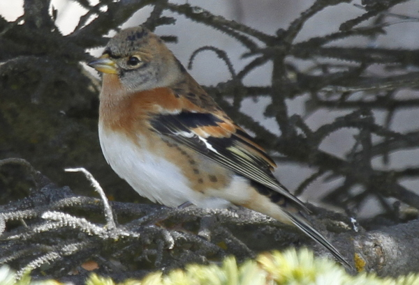 Brambling, Naval Admin Bldg feeder, Sept 18, 2013.