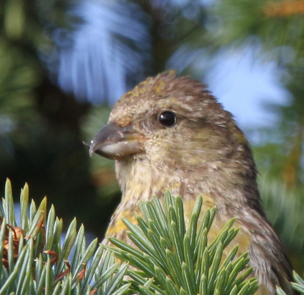 Crossbill, Adak National Forest, Sept 17, 2013.