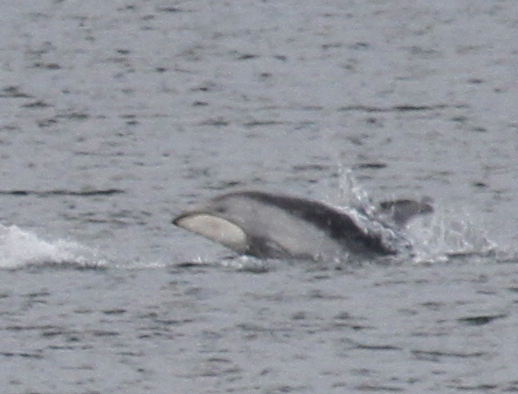 Pacific White-sided Dolphin, Sweeper Cove, Sept 15, 2013.