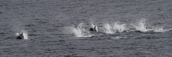 Pacific White-sided Dolphins, Sweeper Cove, Sept 15, 2013.