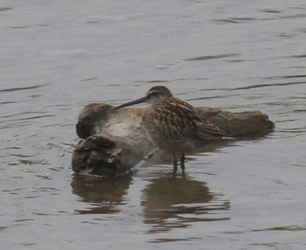 Long-billed Dowitcher, Potter Marsh, Anchorage, Sept 5, 2013