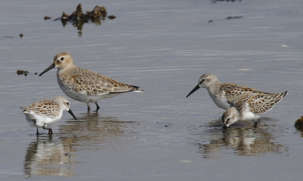 Dunlin and 3 Western Sandpipers, Clam Lagoon, Sept 9, 2013.