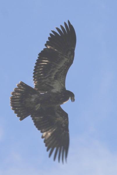 Bald Eagle, Contractor's Marsh, Sept 9, 2013.