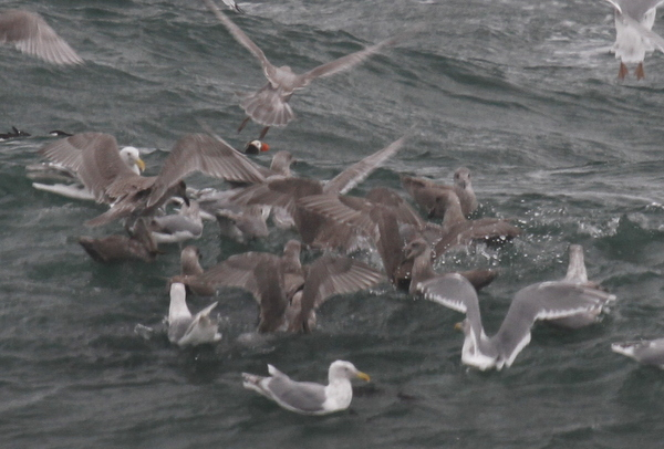 Feeding Frenzy, Glaucous-winged Gulls, Horned Puffin, Common Murre, Adak, Sept 7, 2013.