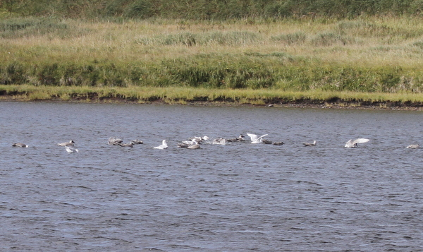 Gulls bathing in Lake Shirley, Sept 12, 2013