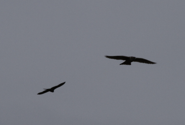 Peregrine Falcon (left) and Gyrfalcon, Clam Lagoon, Sept 16, 2013.