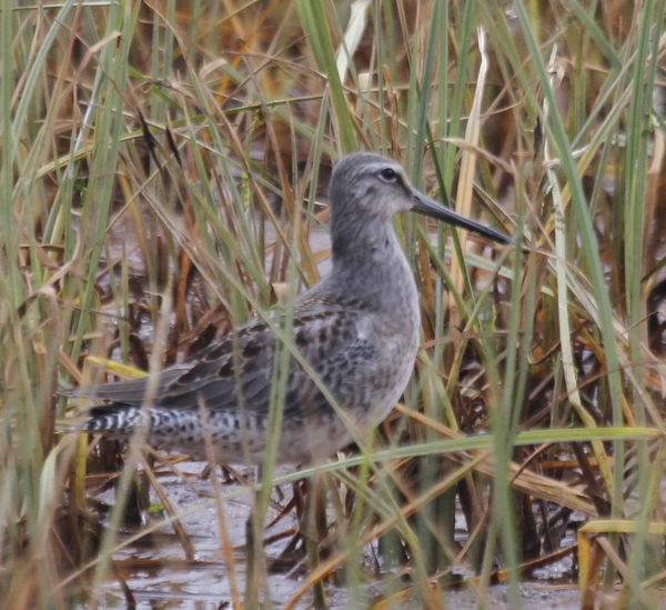 Long-billed Dowitcher, Clam Lagoon, Sept 8, 2013.
