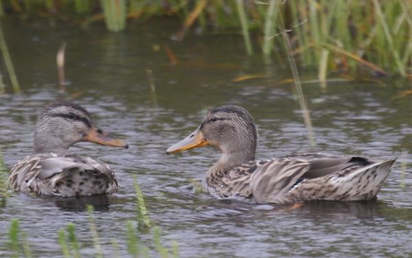 Mallards, near Lake Andrew, Sept 7, 2013.