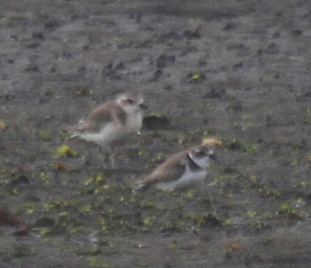 Mongolian Plover (left) with Semipalmated Plover, Clam Lagoon, Sept 12, 2013