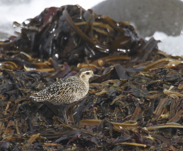 Pacific Golden-Plover, Clam Lagoon Seawall, Sept 6, 2013