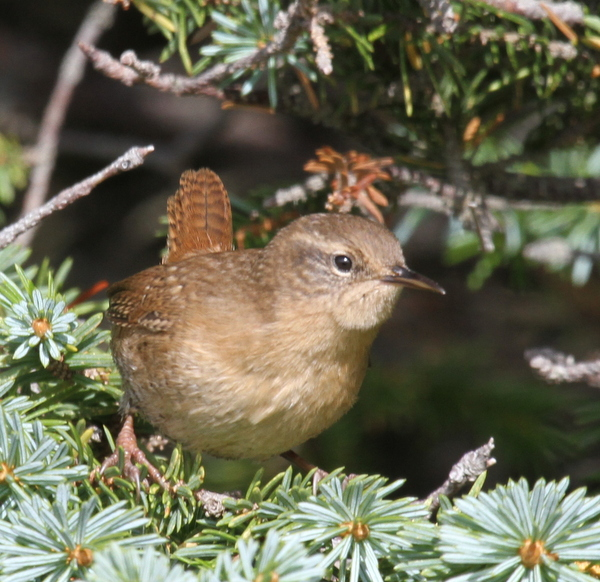 Pacific Wren, Adak National Forest, Sept 17, 2013.
