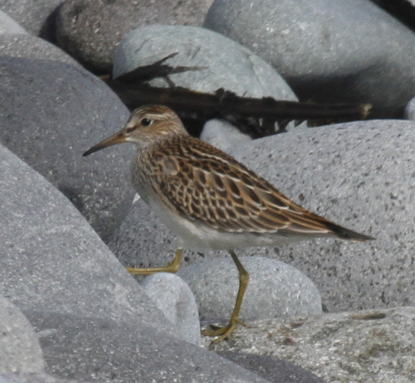 Juvenile Pectoral Sandpiper, Seawall, Sept 12, 2013