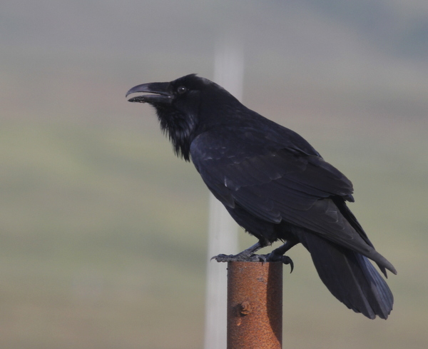 Common Raven, Adak, Sept 6, 2013.