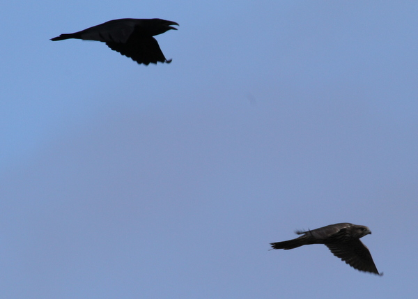Common Raven chasing Gyrfalcon, Contractor's Marsh, Sept 17, 2013.