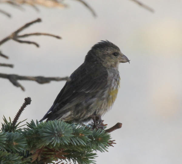 Red Crossbill, Blue Building spruces, Sept 18, 2013.