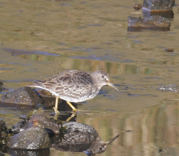 Rock Sandpiper, Sweeper Channel, Sept 6, 2013.