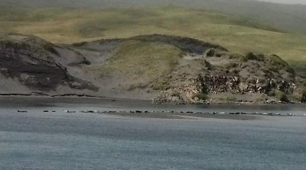 Harbor Seals sunning at Clam Lagoon, Sept 15, 2013.