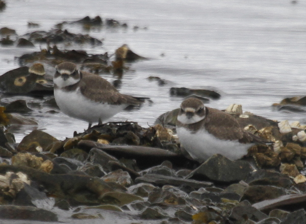 Semipalmated Plovers, Clam Lagoon, Sept 8, 2013.