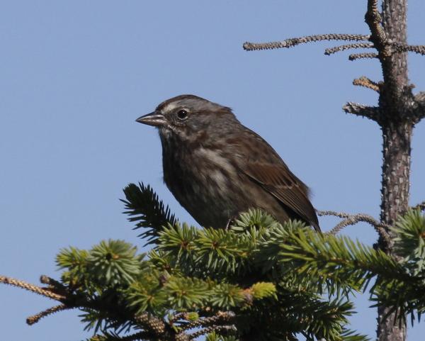Song Sparrow, Elfin Forest, Sept 9, 2013.