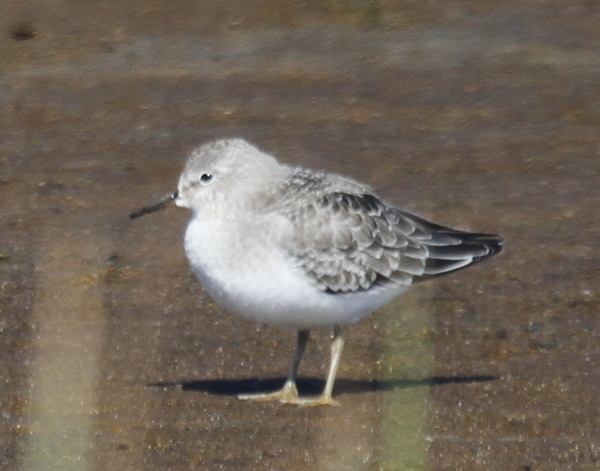 Temminck's Stint, Clam Lagoon, Sept 13, 2013.