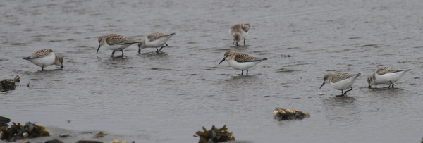 Western Sandpipers, Clam Lagoon, Sept 7, 2013.
