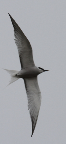Aleutian Tern, Clam Lagoon, May 23, 2014.