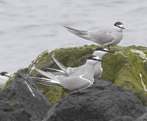 Aleutian Terns, Clam Lagoon, May 23, 2014.