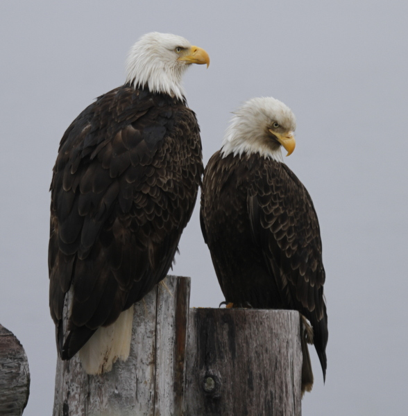 Bald Eagles, Sweeper Cove, May 17, 2014.