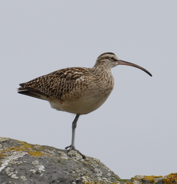 Bristle-thighed Curlew, Seawall, May 25, 2014. (One-legged variety)