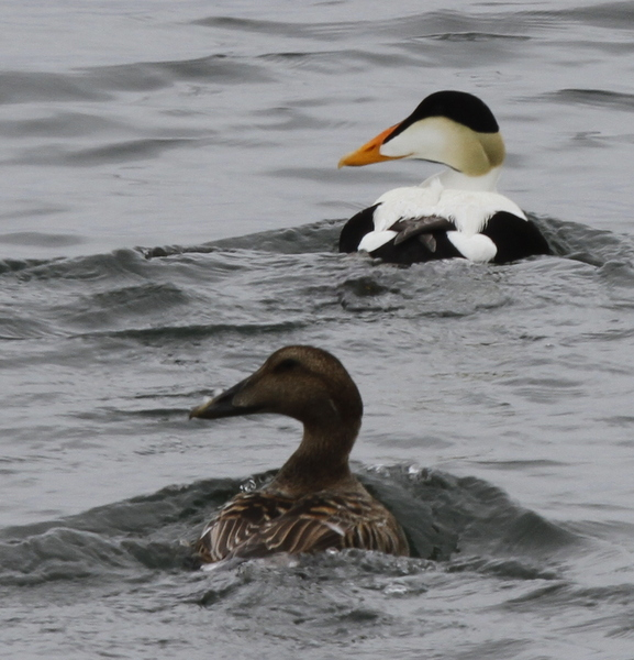 Common Eiders, Clam Lagoon, May 23, 2014.