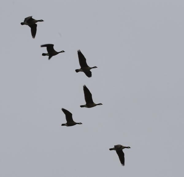 Cackling Geese, Clam Lagoon, May 16, 2014
