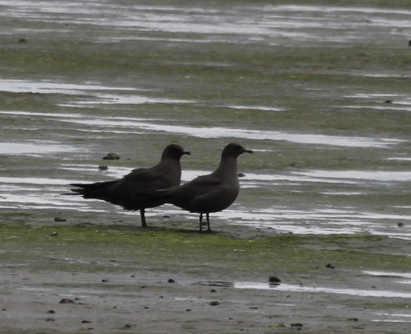 Parasitic Jaegers, Clam Lagoon, May 26, 2014.