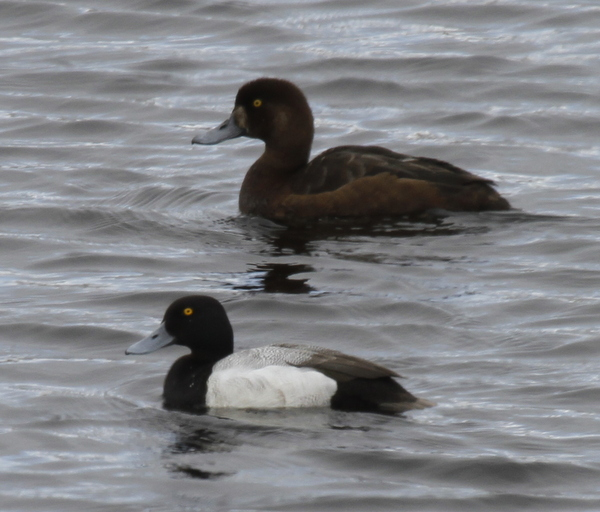 Male Lesser Scaup with female Greater Scaup, Shotgun Lake, May 19, 2014.