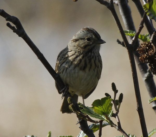 Lincoln's Sparrow, Potters Marsh, Anchorage. May 15, 2014