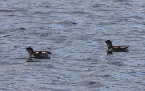 Marbled Murrelets, Sweeper Cove, May 21, 2014.