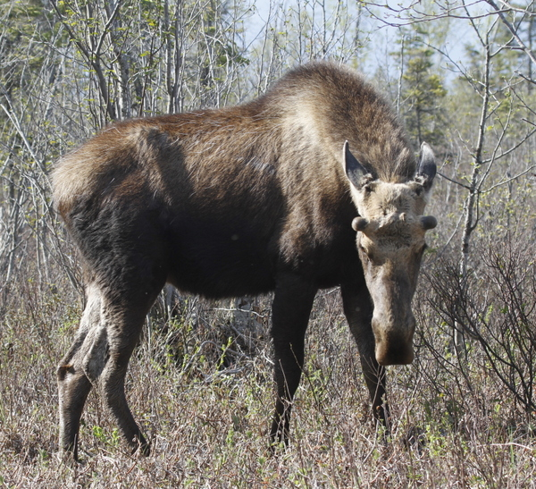 Moose, Potters Marsh, Anchorage, May 15, 2014