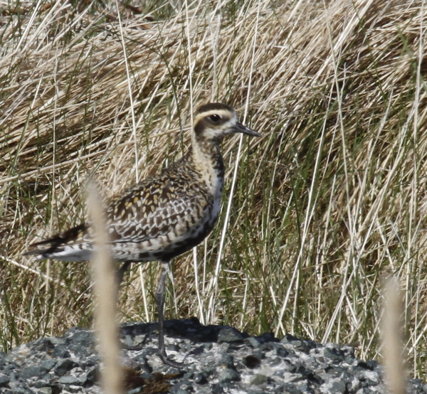 Pacific Golden-Plover, Contractor's Camp Marsh, May 21, 2014.