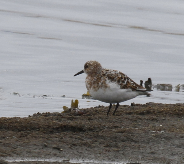 Sanderling, Clam Lagoon, May 16, 2014.