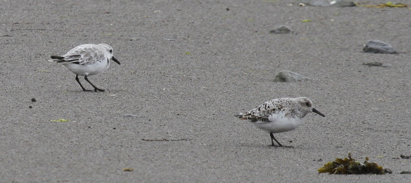 Sanderlings, Clam Lagoon, May 25, 2014.