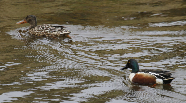Northern Shovelers, Sweeper Channel, May 29, 2014.