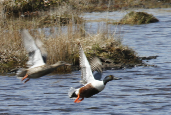 Northern Shovelers, Shotgun Lake, May 18, 2014.