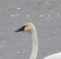 Tundra Swan, Haven Lake, May 15, 2014.