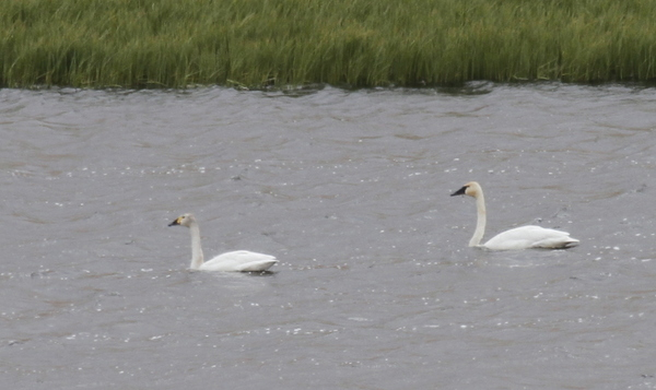 Bewick's Swan (left) and Tundra Swan, Haven Lake, May 15, 2014