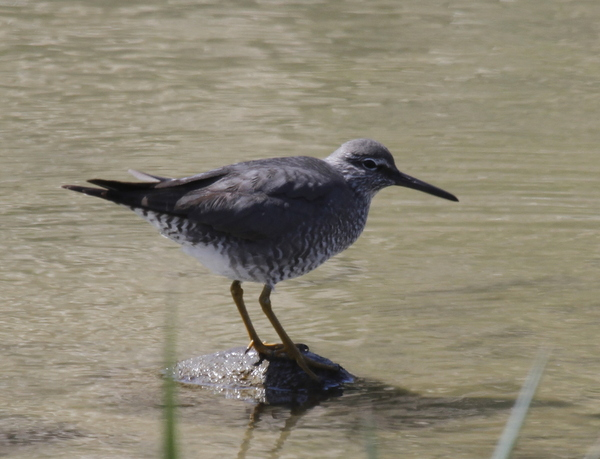 Wandering Tattler, Clam Lagoon Ponds, May 19, 2014.