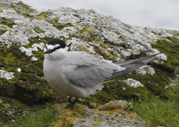 Aleutian Tern, Clam Lagoon, May 27, 2014.