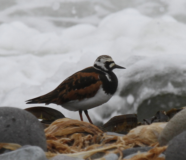 Ruddy Turnstone, The Breaches, May 23, 2014.